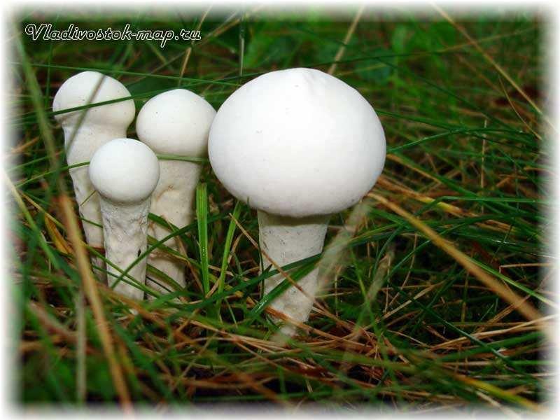 грибы съедобные фото название