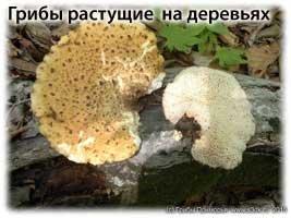виды древесных грибов съедобных с фото
