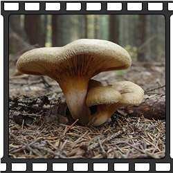 ложный белый гриб или сатанинский